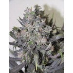 Blue Mystic - 100% Feminized